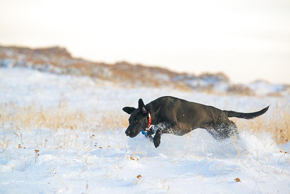 A black Labrador dog, Wasatch National Forest, Utah, USA
