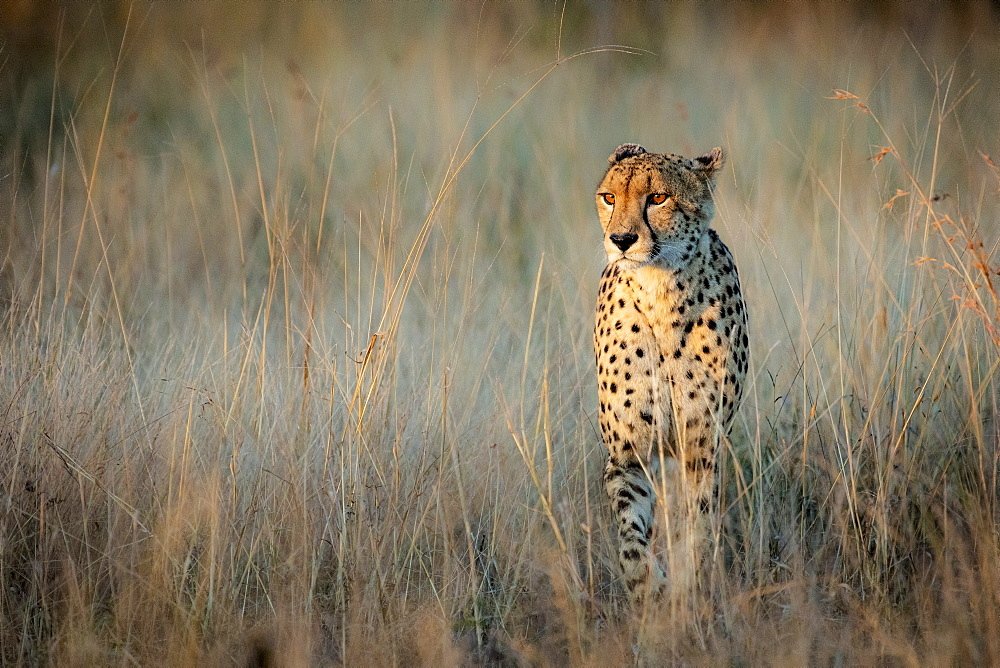 Cheetah Acinonyx jubatus walking through dry brown grass in fading light, Sabi Sands, South Africa