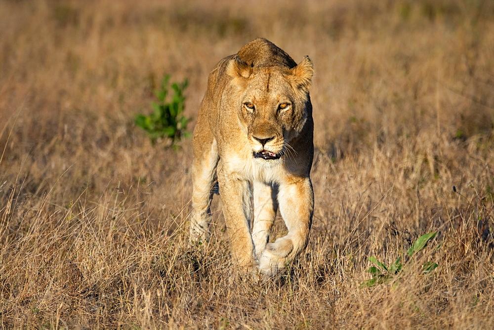 A lioness Panthera leo walks towards the camera looking out of frame dry brown grass, Sabi Sands, South Africa