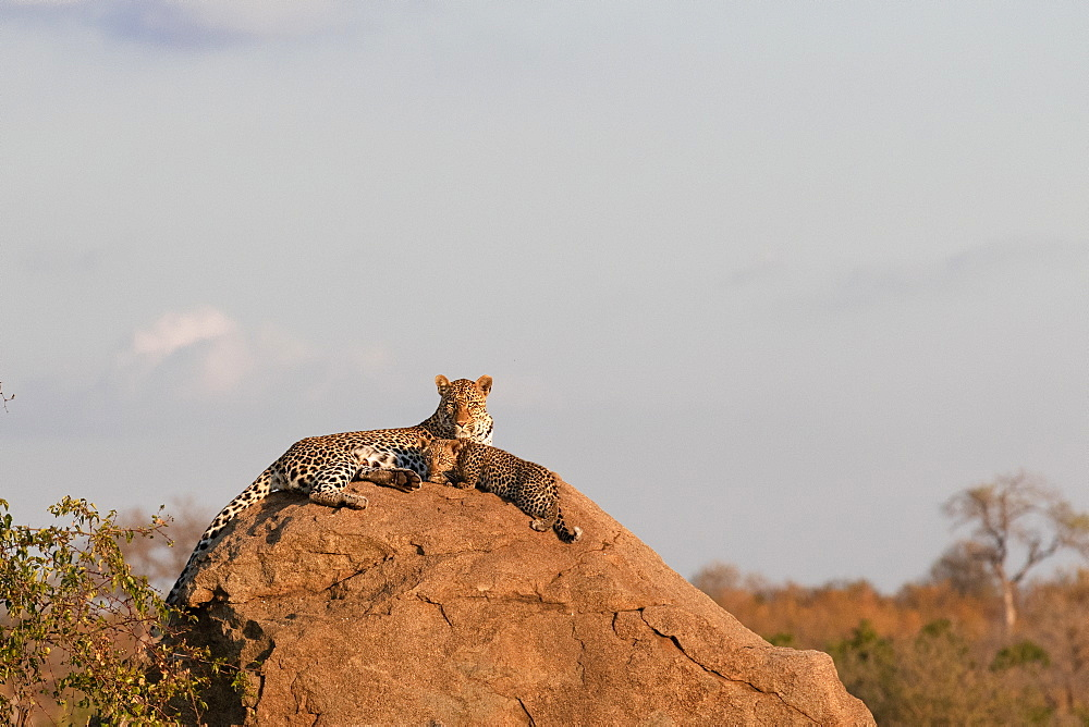 A mother leopard Panthera pardus lies on a boulder with her cub, Sabi Sands, South Africa