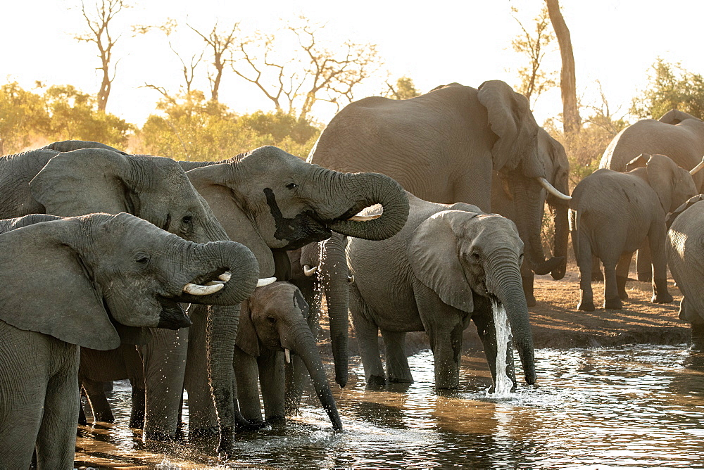 A herd of African elephants, Loxodonta africana, drink at a water hole during sunset in soft light, Sabi Sands, Greater Kruger National Park, South Africa - 1174-9036