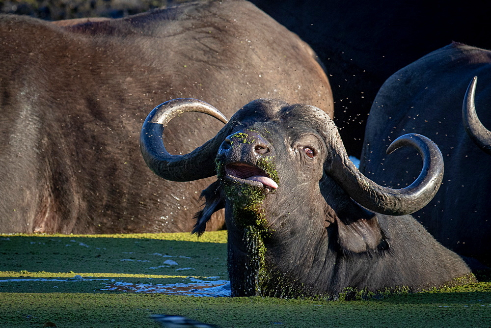 A buffalo, Syncerus caffer, lies down in water, tongue sticking out, looking out of frame, Sabi Sands, Greater Kruger National Park, South Africa