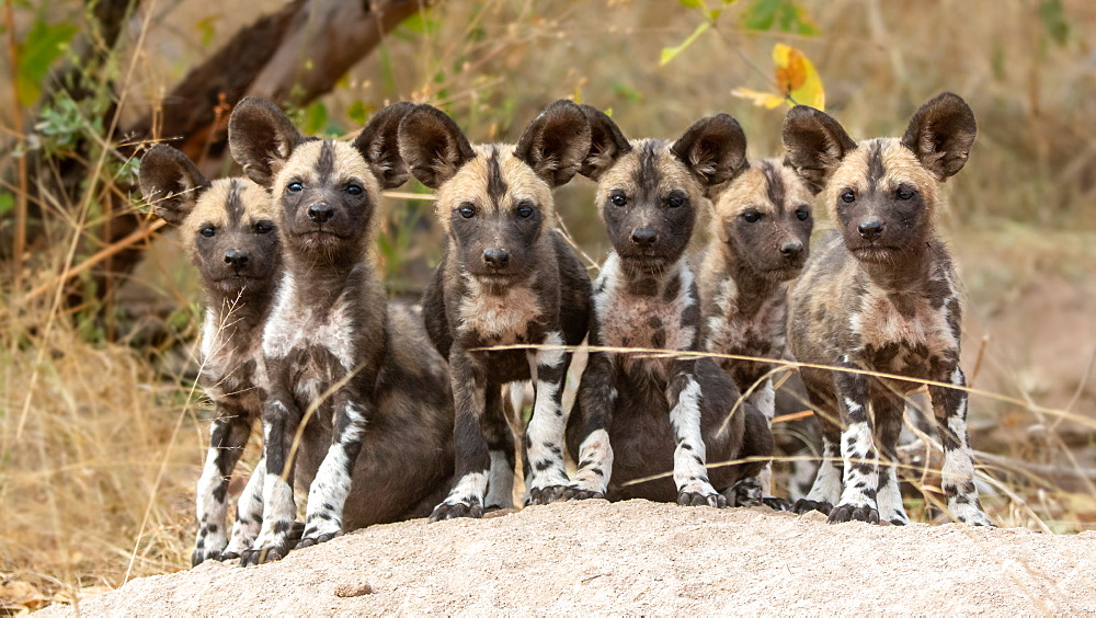A pack of wild dog puppies, Lycaon pictus, sit together on a termite mound, direct gaze , Sabi Sands, Greater Kruger National Park, South Africa