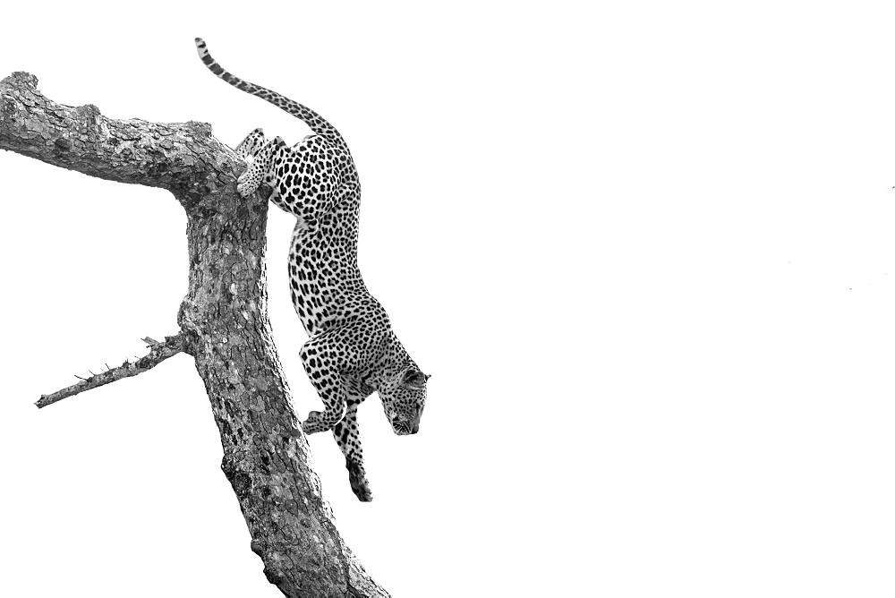 A leopard, Panthera pardus, climbs down a tree branch, black and white, whited out background, Londolozi Wildlife Reserve, Greater Kruger National Park, South Africa - 1174-9228