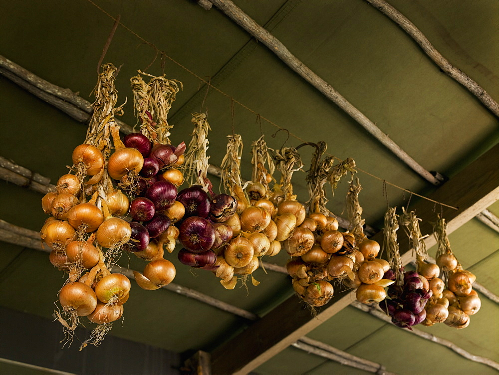 Onions strung up from the ceiling for storage, in a cool place, Maryland, USA