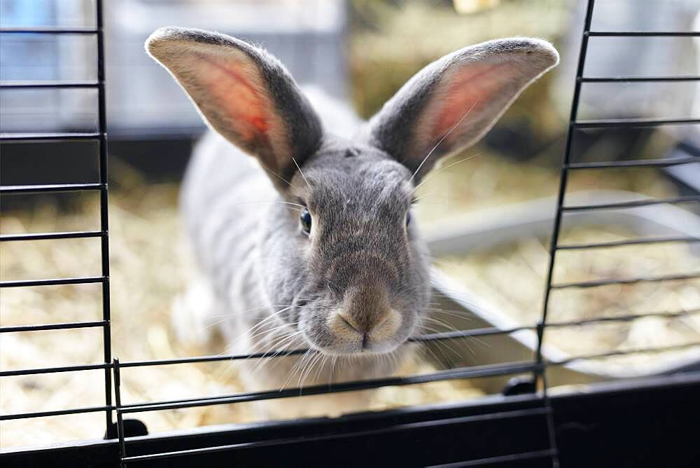 Portrait of grey pet house rabbit looking out from open door of hutch, Bristol, United Kingdom - 1174-9836