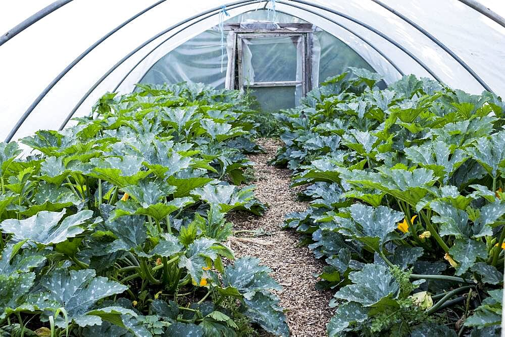 Rows of courgette plants growing in a poly tunnel, Oxfordshire, United Kingdom - 1174-9851