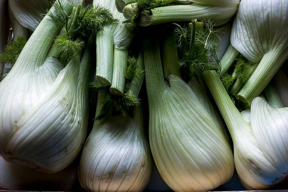 High angle close up of freshly picked fennel bulbs, Oxfordshire, United Kingdom - 1174-9856