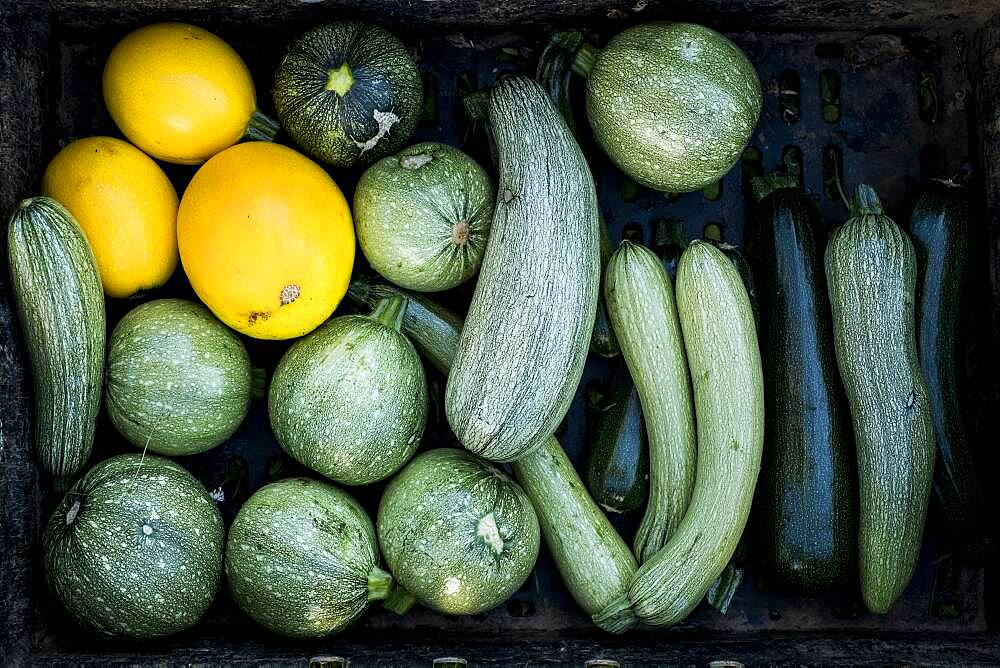 High angle close up of freshly picked yellow and green marrows and courgettes, Oxfordshire, United Kingdom - 1174-9887