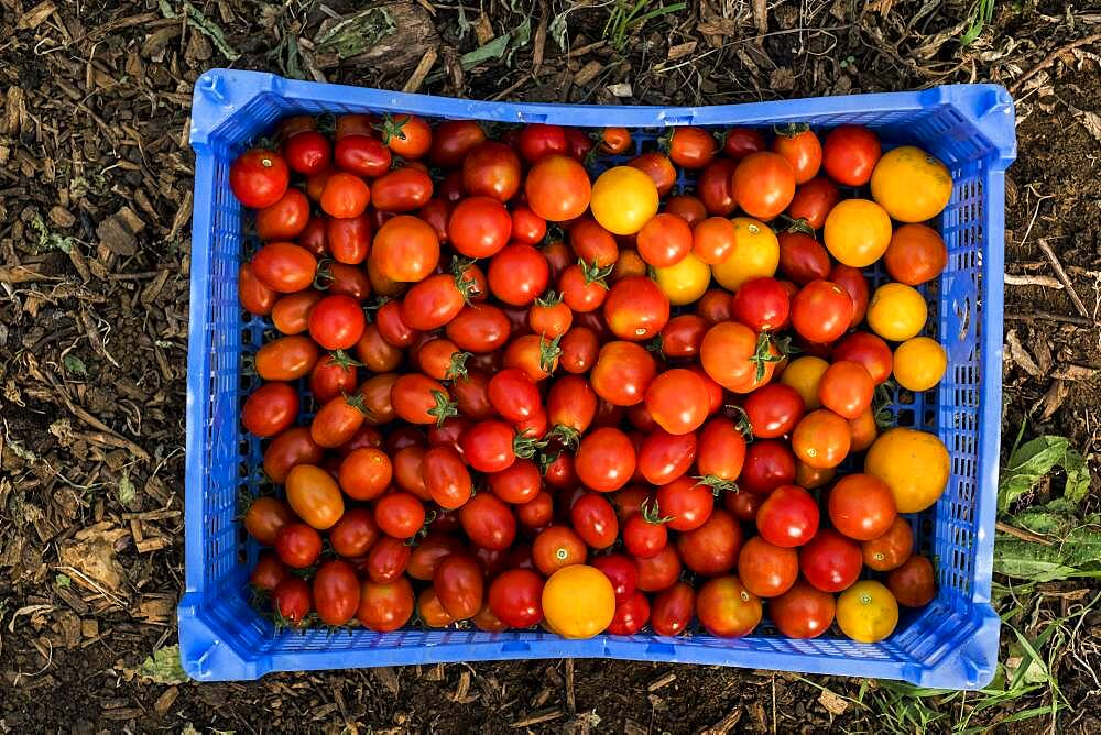 High angle close up of freshly picked cherry tomatoes in blue plastic crate, Oxfordshire, United Kingdom - 1174-9891