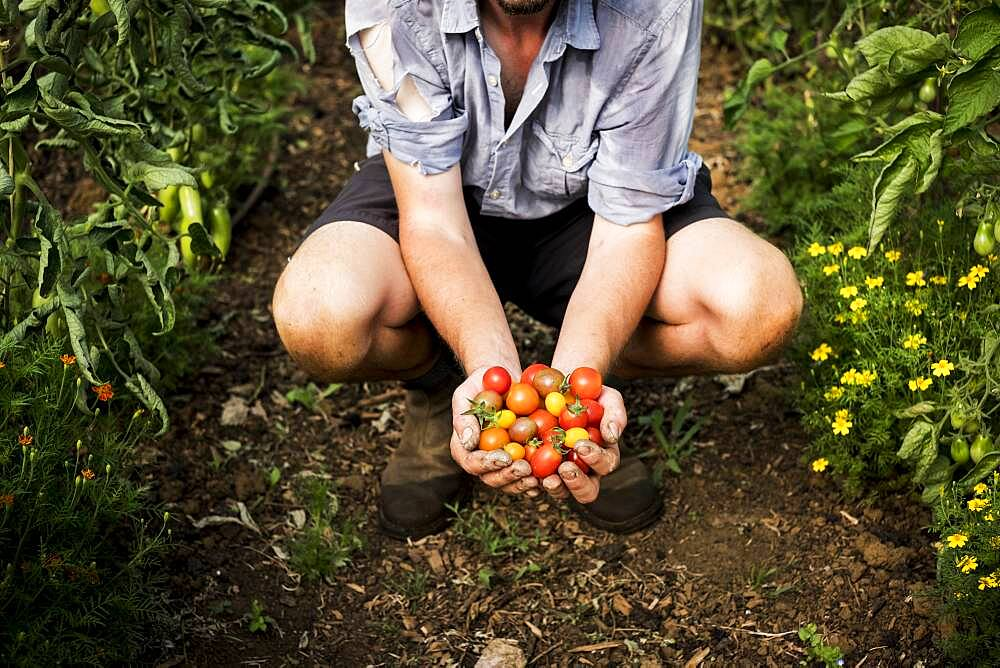High angle close up of person holding bunch of freshly picked cherry tomatoes, Oxfordshire, United Kingdom - 1174-9896