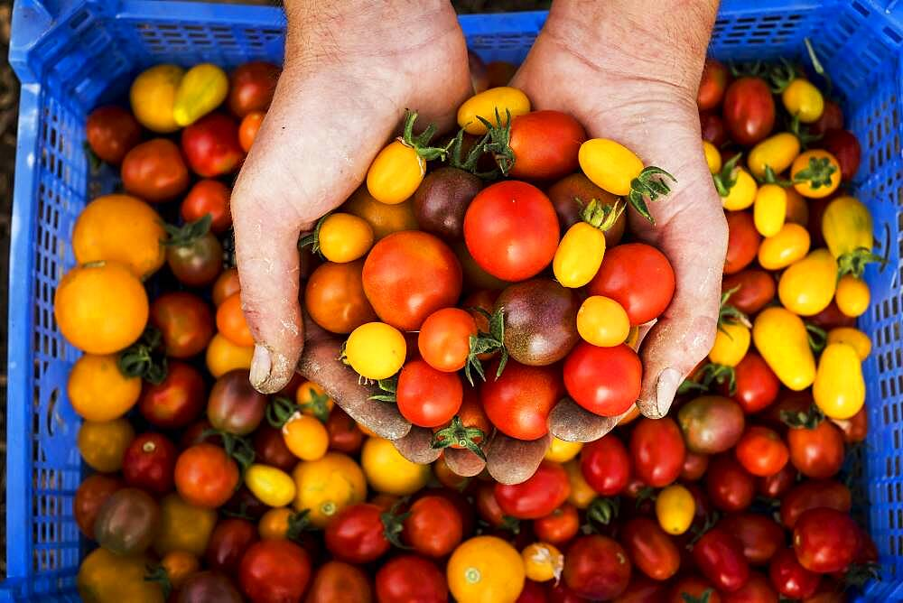 High angle close up of person holding bunch of freshly picked cherry tomatoes, Oxfordshire, United Kingdom - 1174-9897