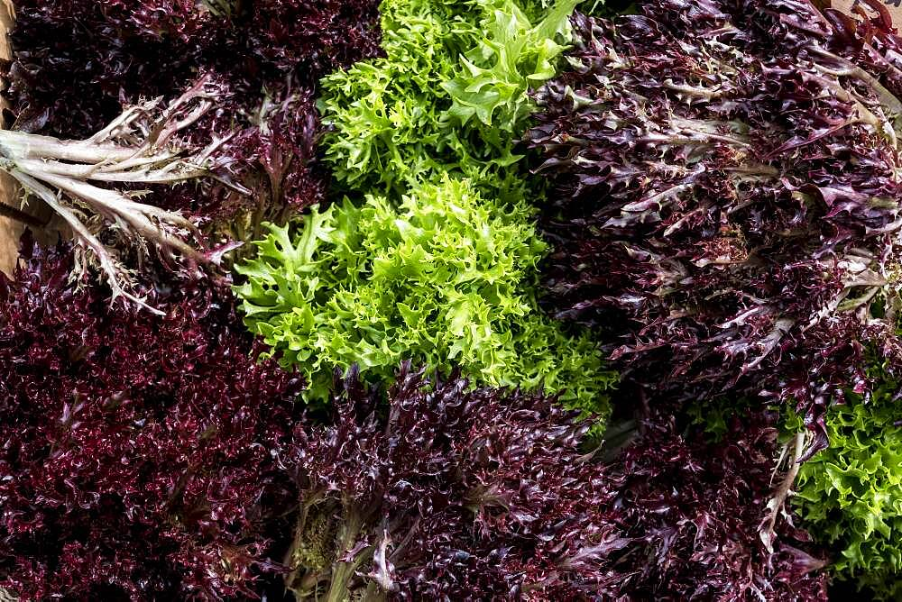 High angle close up of freshly picked green and purple salad leaves, Oxfordshire, United Kingdom - 1174-9908
