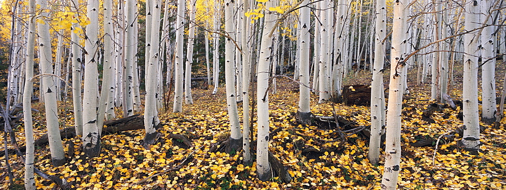 The Dixie national forest with aspen trees in autumn. White bark and yellow foliage on the branches and fallen to the ground, Dixie National Forest, Utah, USA