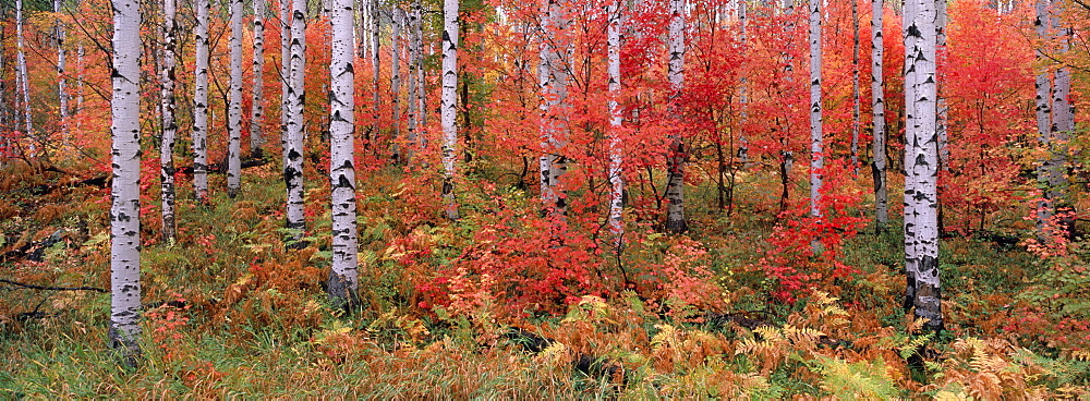 The Wasatch Mountain forest of maple and aspen trees, with autumn foliage and fallen leaves, Wasatch Mountains, Utah, USA