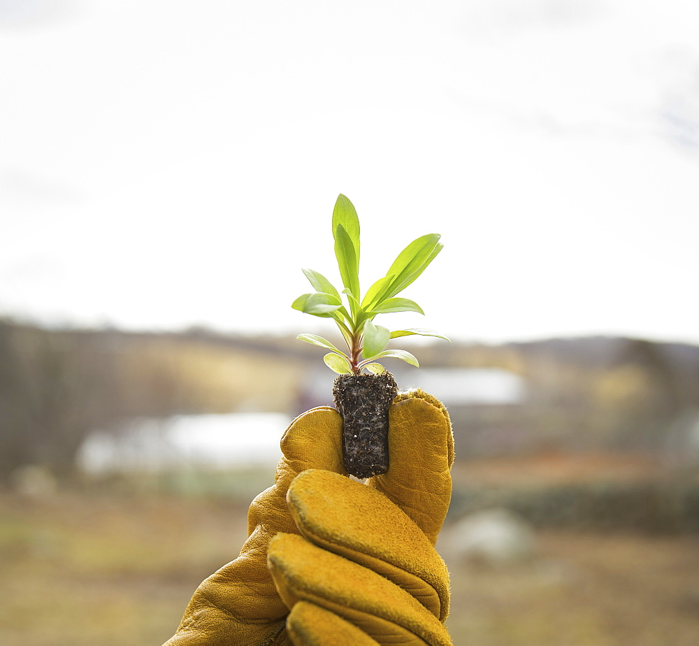 An Organic Farm in Winter in Cold Spring, New York State. A gloved hand holding a small new seedling with two sets of green leaves, Cold Spring, New York, U.S.A.