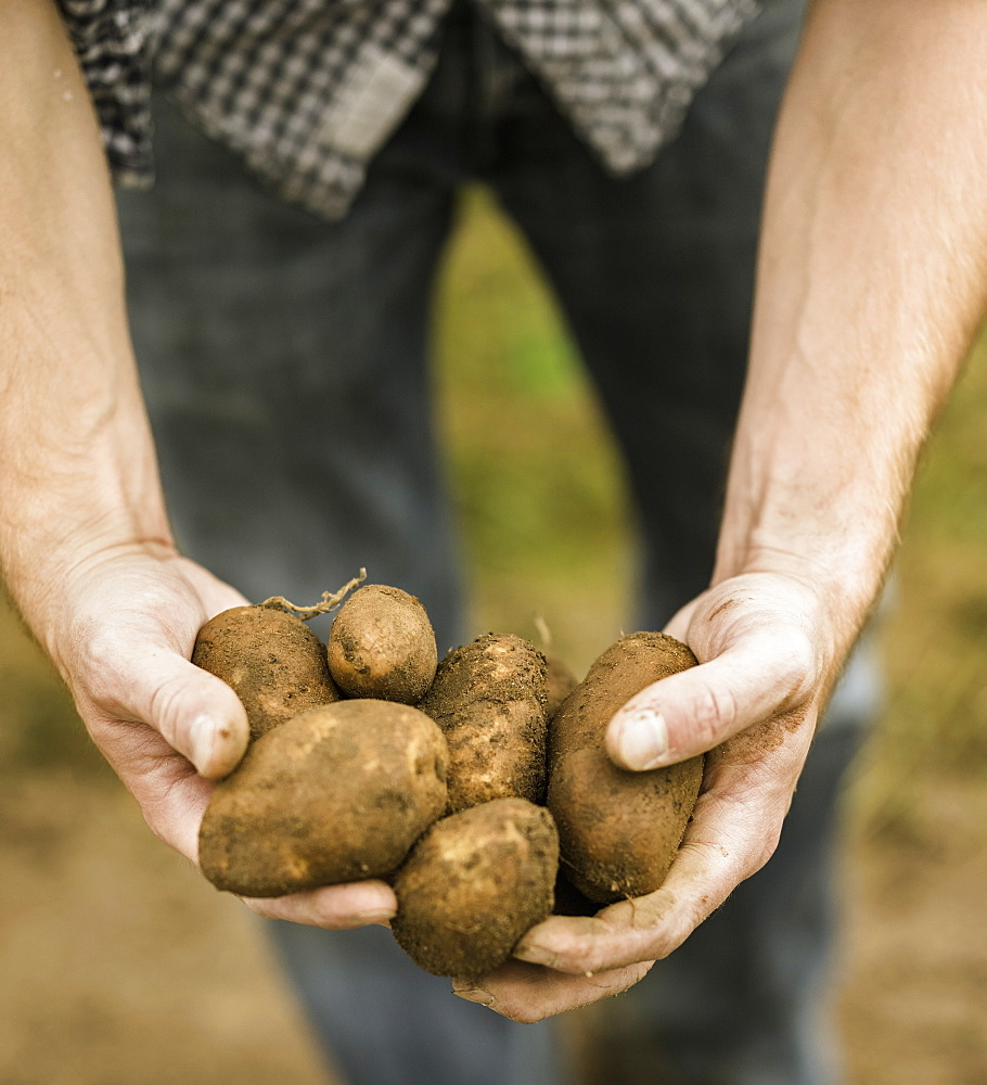 Man holding a handful of freshly picked potatoes in his handsAllotment, England