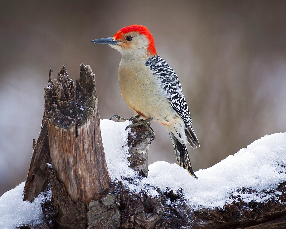 Red Headed Woodpecker perching on a branch covered in snow.