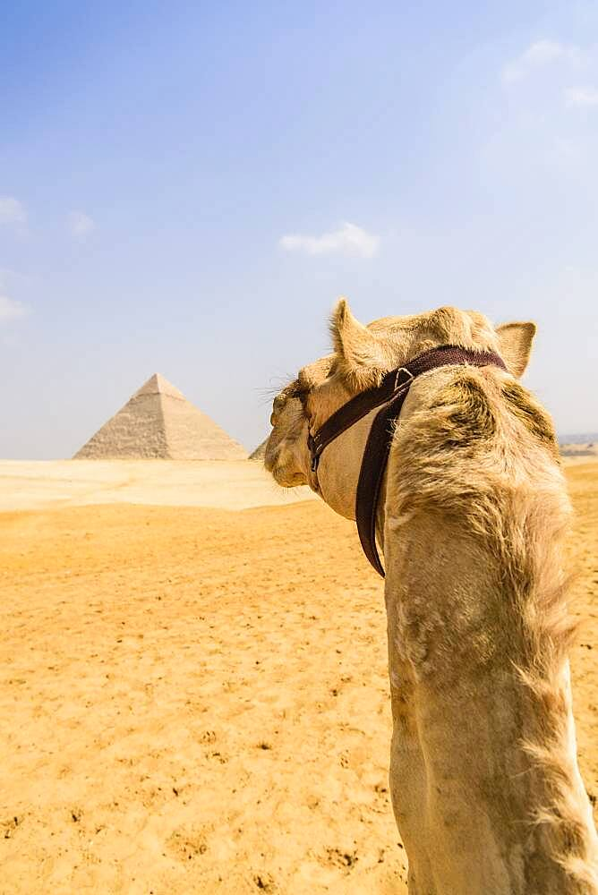 Camel at Giza, a pyramid in the background on the outskirts of Cairo. - 1174-10038