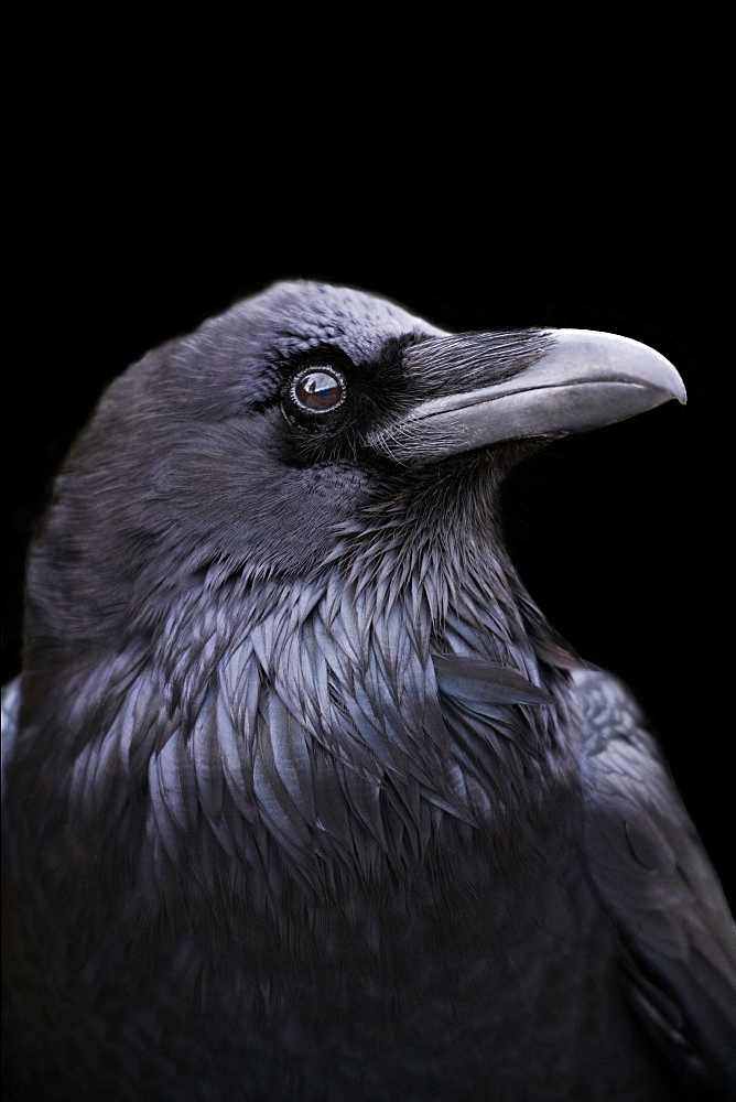 Profile of a Raven with a black background, California, California, USA