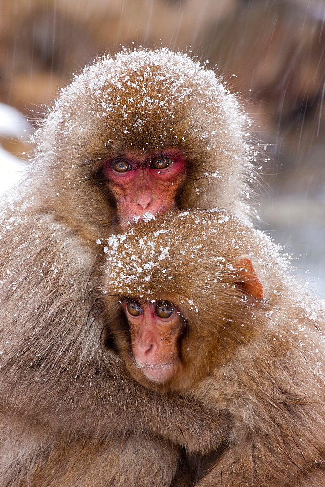Japanese Macaques, Japanese Alps, Honshu Island, Japan, Honshu Island, Japan