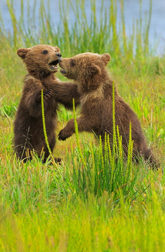Brown bear cubs, Lake Clark National Park, Alaska, USA, Lake Clark National Park, Alaska, USA