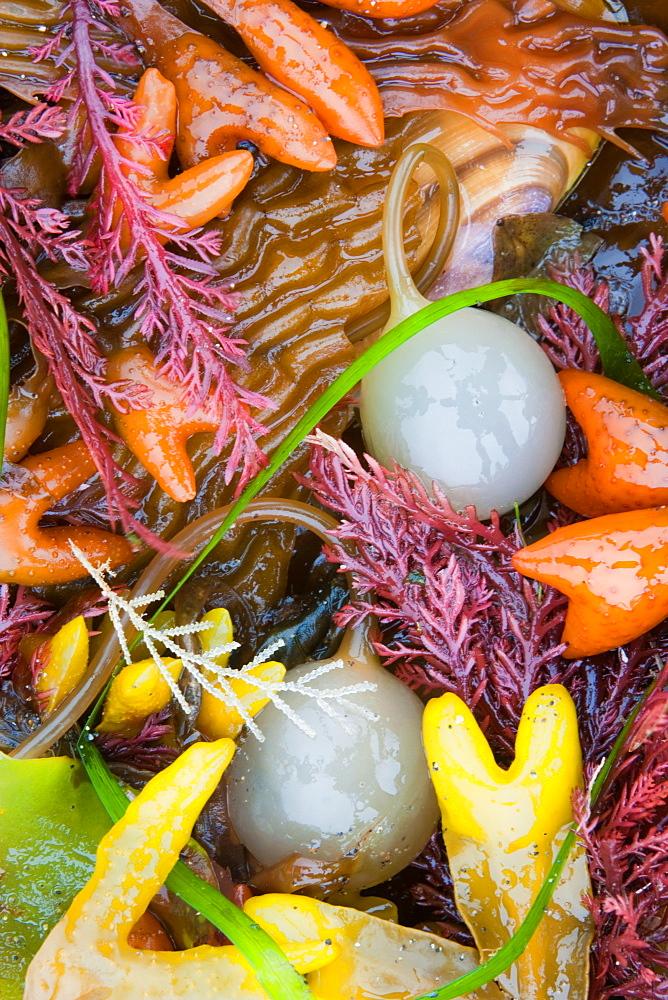 Seaweed, kelp, and sea shells on the coast of Alaska, Alaska, USA