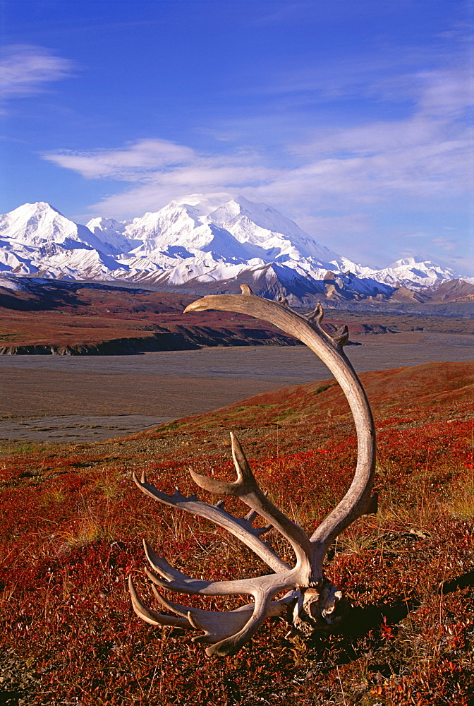 Tundra and caribou antlers in Denali National Park, Alaska in the fall. Mount McKinley in the background, Denali National Park, Alaska, USA