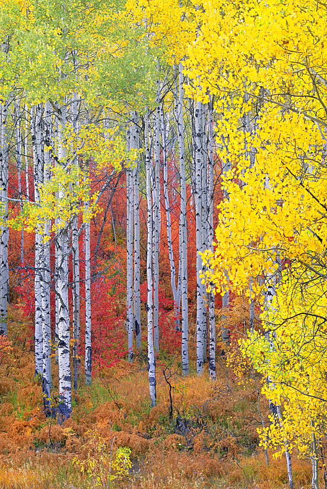 A forest of aspen trees in the Wasatch mountains, with striking yellow and red autumn foliage, Wasatch Mountains, Utah, USA