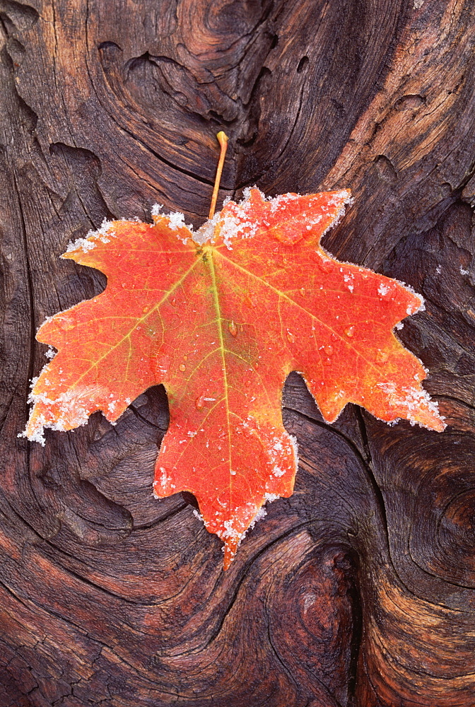 A frosted red brown maple leaf, autumn foliage with ice crystals around the edge. A gnarled wood surface, Utah, USA