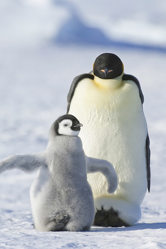 An adult Emperor penguin and a smaller fluffy penguin chick spreading its flippers out, Weddell Sea, Snow Hill Island, Antarctica