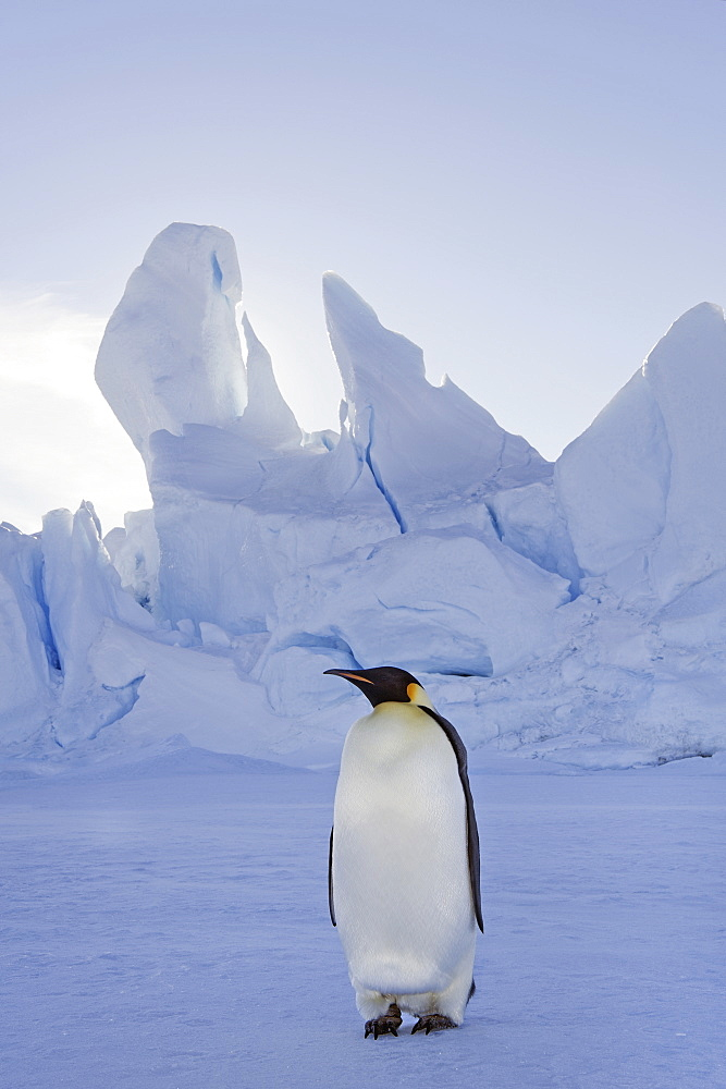 An adult Emperor penguin standing on the ice in shadow, with head turned sideways, on Snow Hill island in the Weddell Sea, Weddell Sea, Snow Hill Island, Antarctica