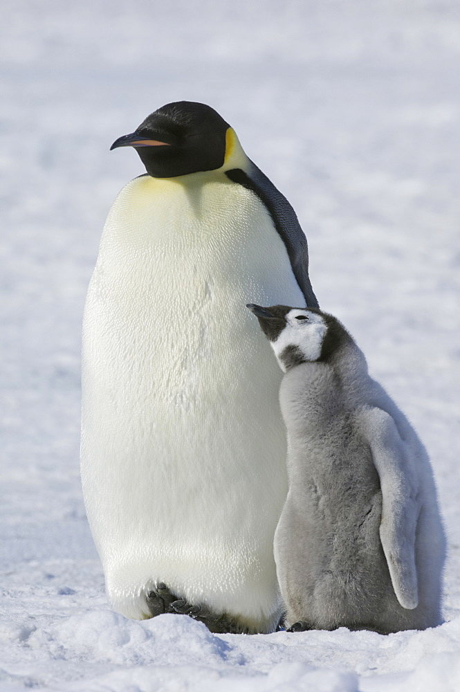 Two Emperor penguins, an adult bird and a chick, side by side, on the ice, Weddell Sea, Snow Hill Island, Antarctica