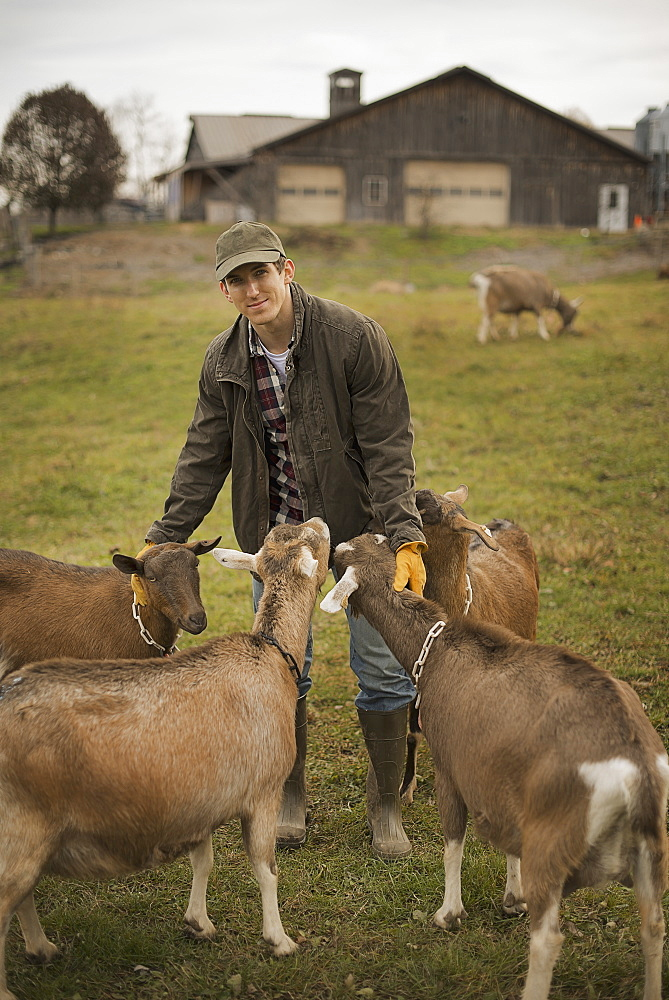 A small organic dairy farm with a mixed herd of cows and goats. Farmer working and tending to the animals, Pine Bush, New York, USA