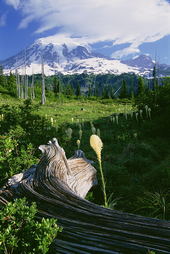 Bear grass in flower, and a large weathered fallen tree in the grassland of Mount Rainier national park, Mount Rainer, Mount Rainer National Park, Washington, USA