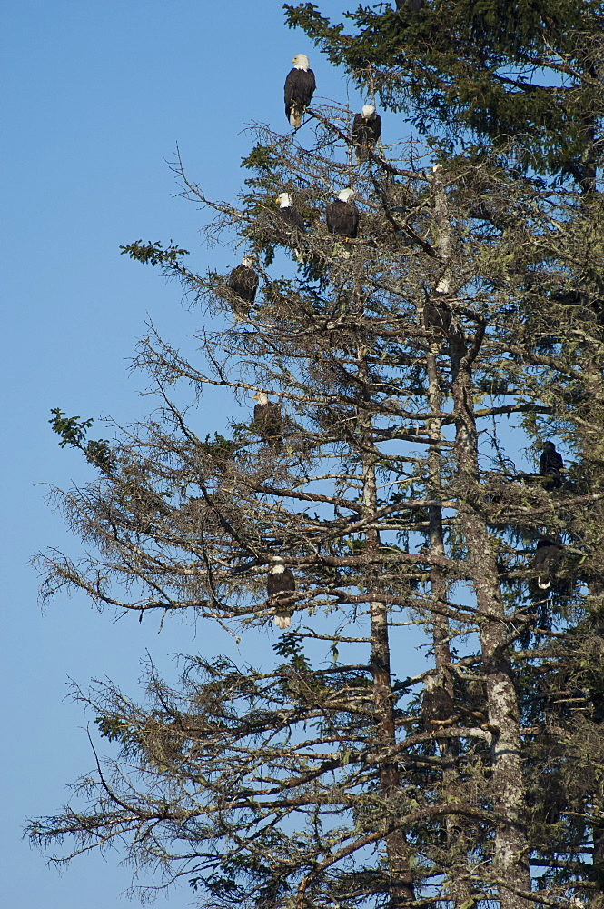 A group of bald eagles, Haliaeetus leucocephalus, roosting in tall pine trees, Sitka, Alaska, USA