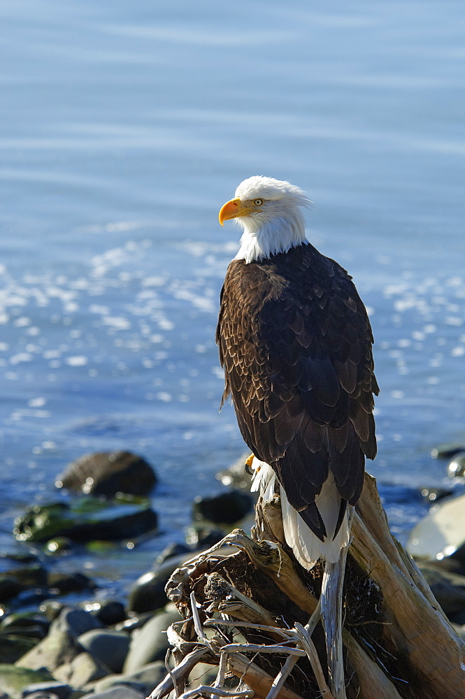 A bald eagle, Haliaeetus leucocephalus, perched on a rock, Sitka, Alaska, USA