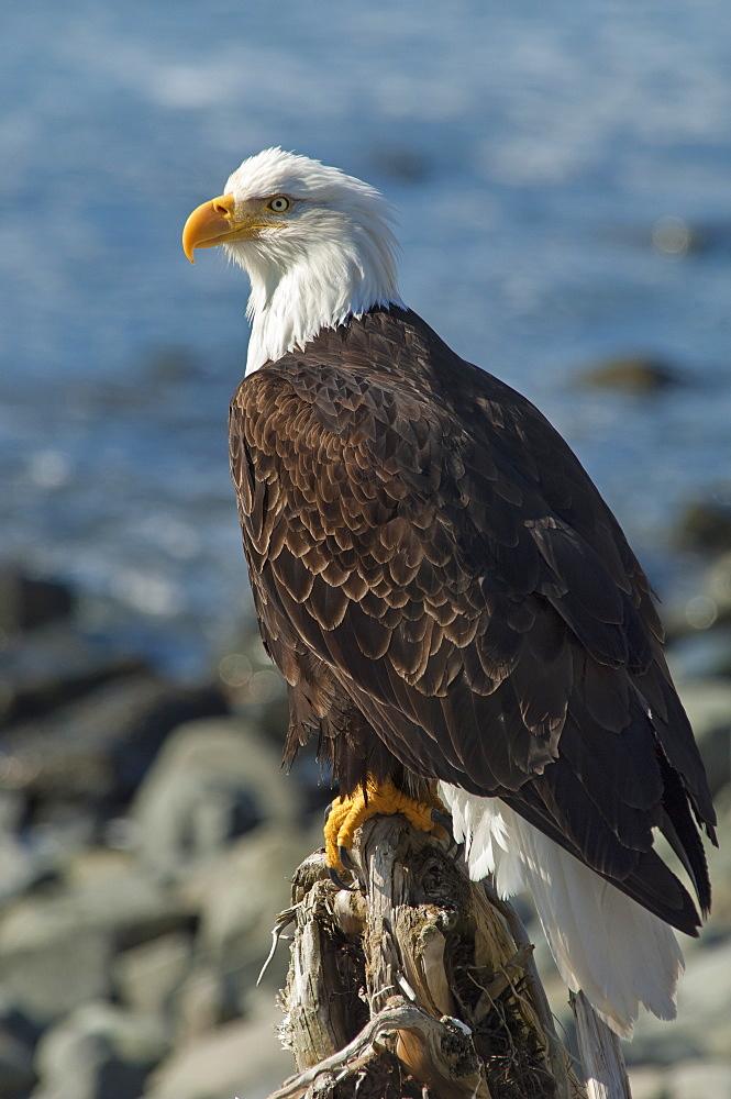 A bald eagle, Haliaeetus leucocephalus, perched on a rock, Sitka, Alaska, USA