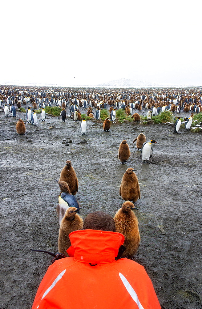 A person in an orange jacket photographing king penguin adults and chicks on South Georgia island, Salisbury Plain, South Georgia Island