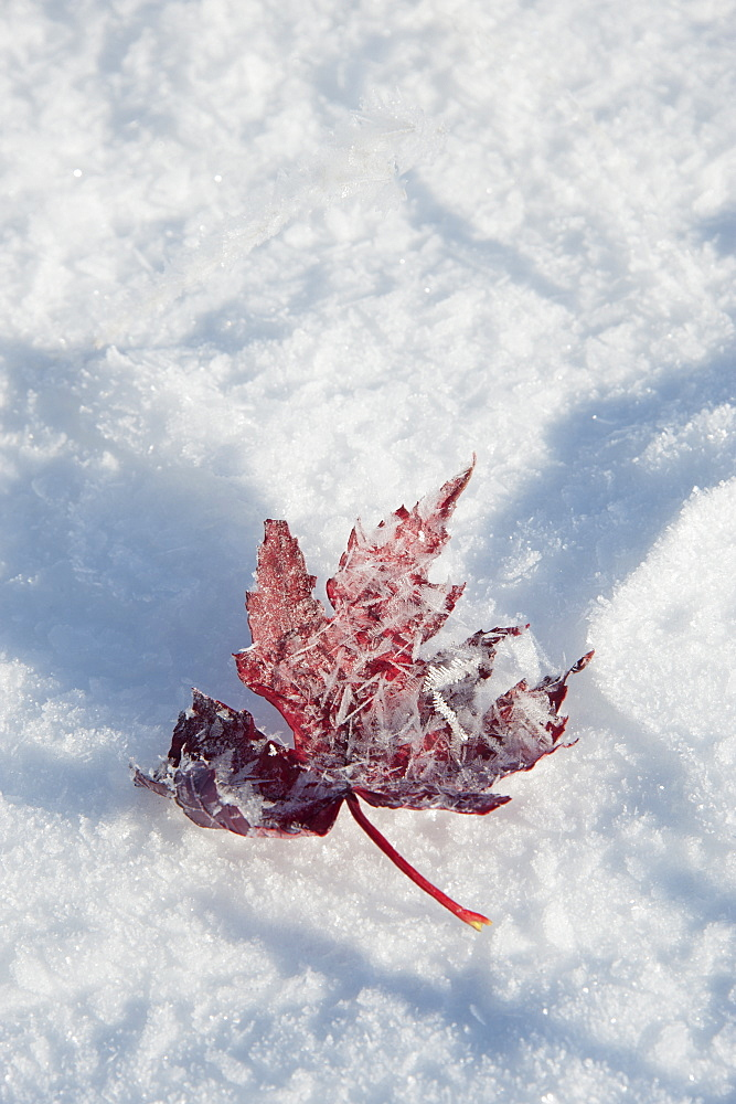 A dried frosted leaf in winter resting on the snow, Wasatch national forest, Utah, USA