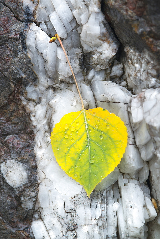 A small aspen leaf, yellow and green, resting on tree bark, Wasatch national forest, Utah, USA