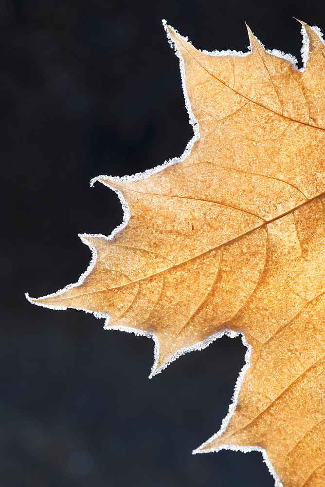 A large maple leaf with the light shining through, in autumn, Wasatch national forest, Utah, USA
