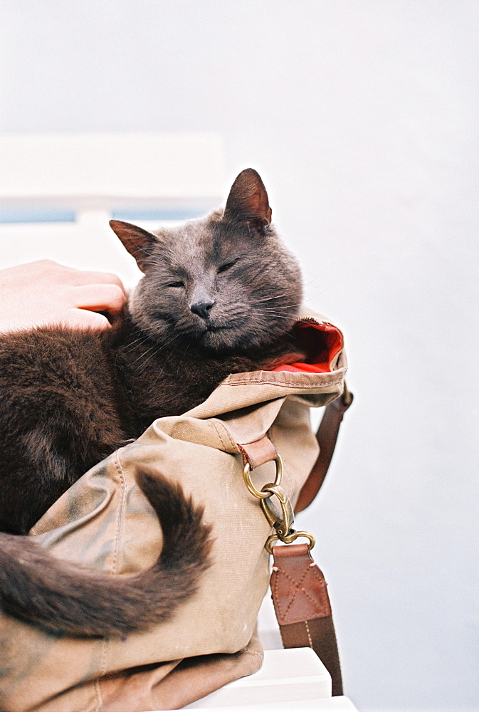 A small grey cat sitting in a handbag, England