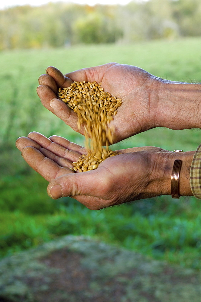 Close up of a man's hands pouring wheat from one hand into the otherWheat, Gloucestershire, England