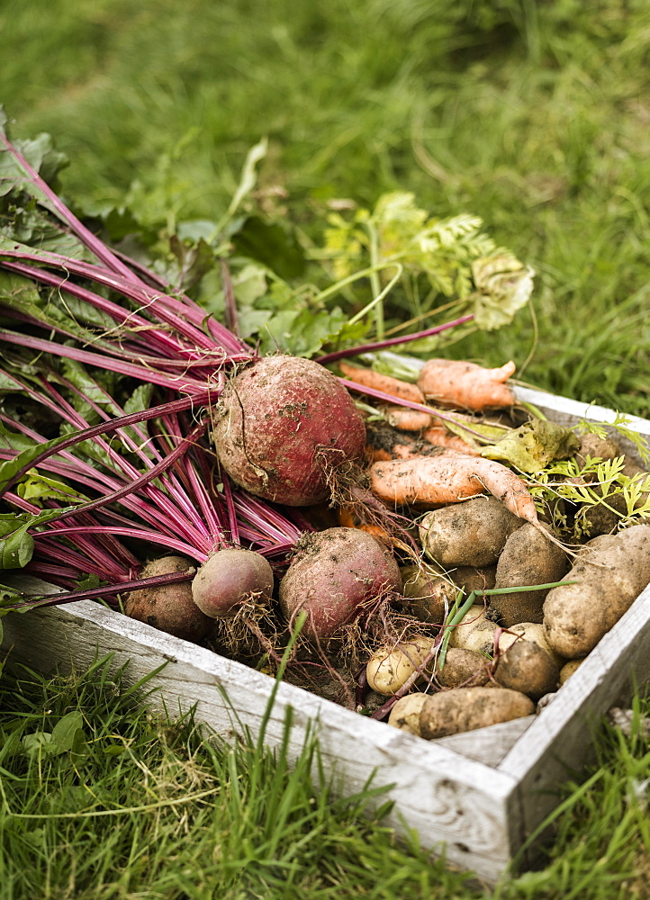 Wooden box full of freshly picked vegetables, including carrots, beetroots and potatoesAllotment, England