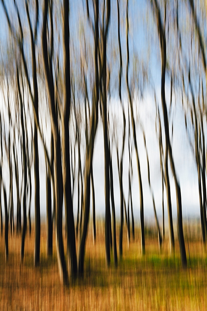 Blurred motion, Maple trees in autumn, moving in the breeze, King County, Washington, USA