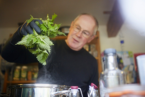 A man holding fresh foraged nettles with a gloved hand, blanching them in a pot, England, United Kingdom