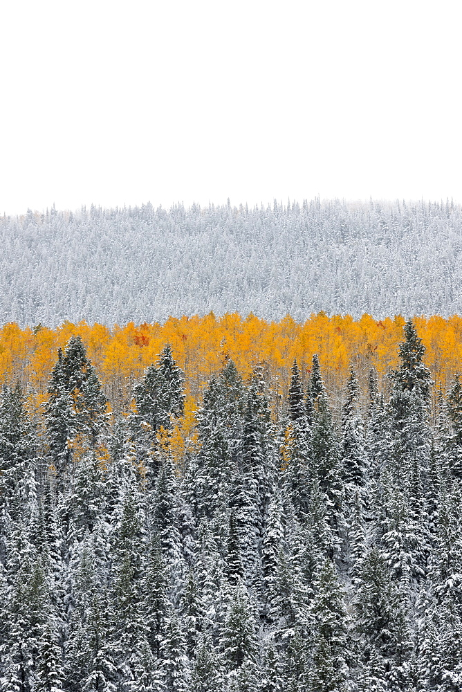 View over aspen forests in autumn, with a layer of vivid orange leaf colour against pine trees, Uinta mountains, Utah, USA