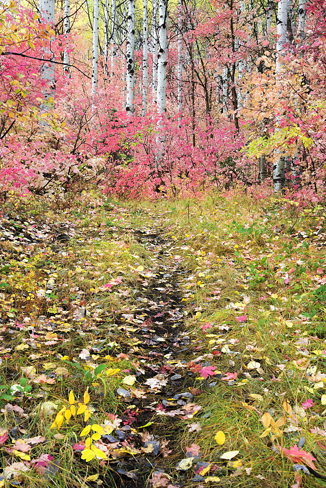 A trail through the woods. Vivid autumn foliage colour on maple and aspen tree leaves, Wasatch Mountains, Utah, USA