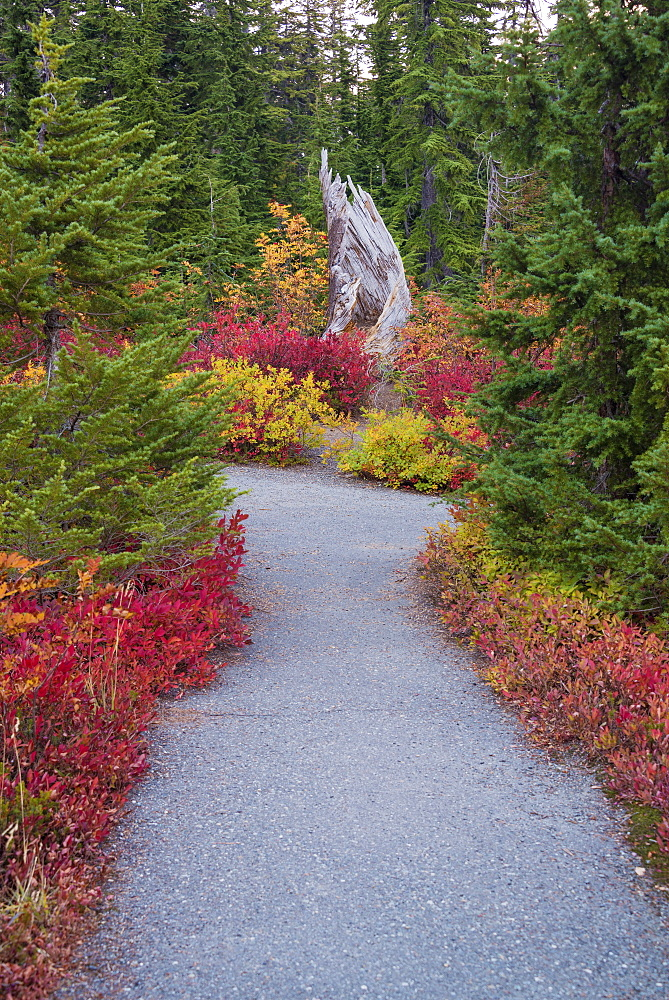 A forest trail through woodland in autumn, red and orange foliage beside the path, Mount Baker national forest, Washington State, United States
